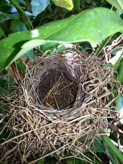 Cardinal nest empty.jpg