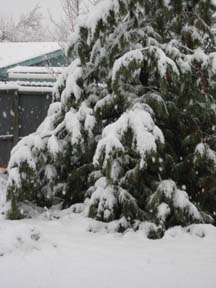 Globs of snow pine tree.jpg