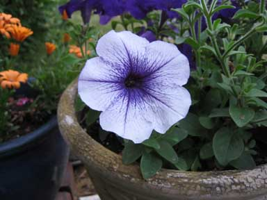 Pale petunia purple veins smr.jpg