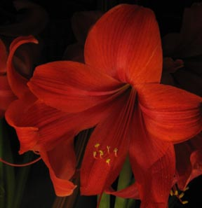 dark amaryllis cr sq sm.jpg