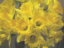 happy daffies sm.jpg