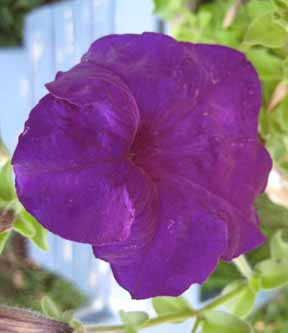 purple petunia closeup.jpg