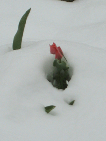 tulips in snow 2.jpg